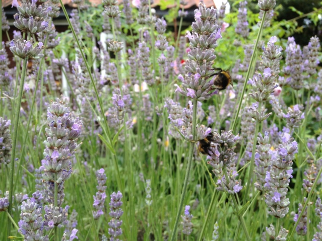 i've been trying to get my hands on some lavender sprigs but the bees in this garden are as large as tiny buffalos.