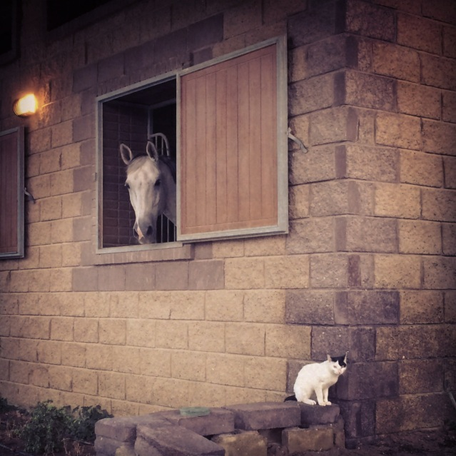 a horse and a kitty cat at the kuwait riding center