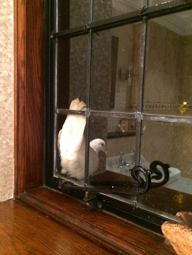 a dove outside my bathroom window